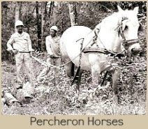 Percherons in the Indigenous forest