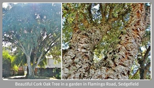 Ms Hart's Cork Oak Tree
