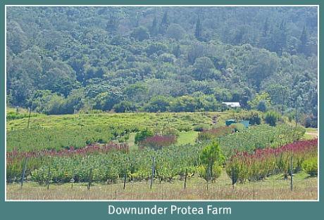 Downunder Protea Far