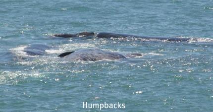Humpback glimpses