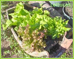Lettuces growing in the garden