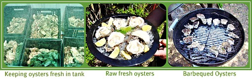 Live fresh oysters