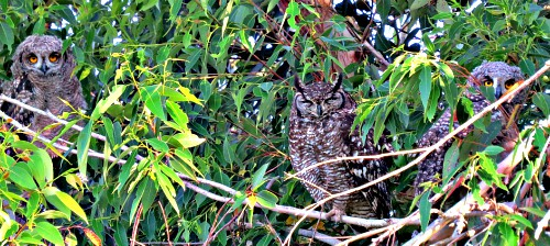 Spotted Eagle Owl family