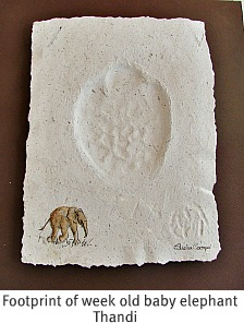 Baby elphant Thandi's footprint