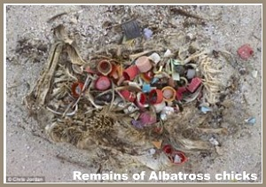 albatross chick remains