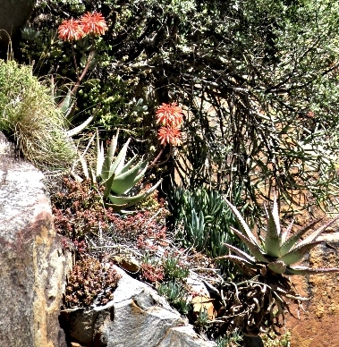 Mountain Aloes on the cliff at Aalwyn Drift