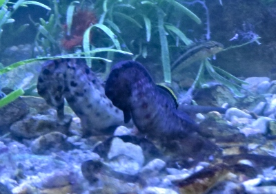 A pair of Knysna Seahorses foraging in the tank at SANParks Offices on Thesen Island, Knysna.