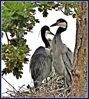 Black-headed herons (siblings) Belvidere heronry