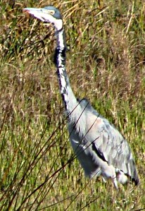Black-headed Heron among the Swartvlei reeds