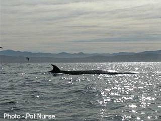 Brydes Whale out at sea