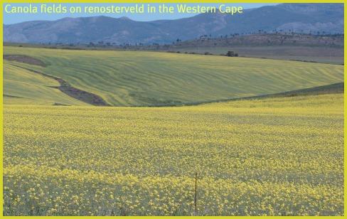 Monocrop Canola fields in Renosterveld           in the Western Cape
