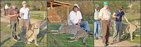 walking with cheetahs