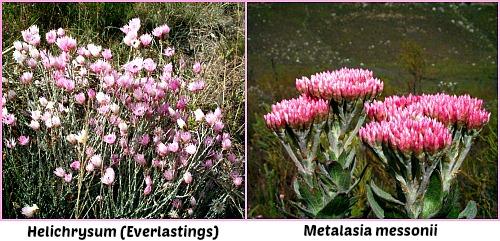 Wonderful fynbos flowers