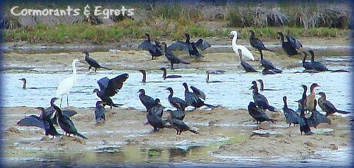 Cape & Whitebreasted Cormorants & Little Egets