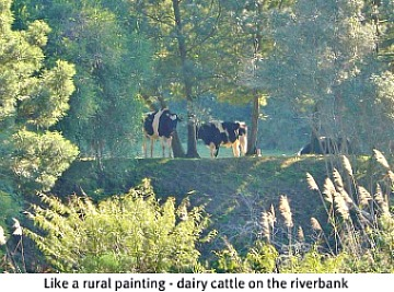 Dairy Cattle next to river