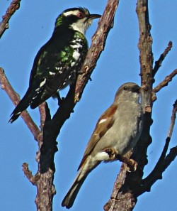 Diderick Cuckoo & Grey-headed Sparrow
