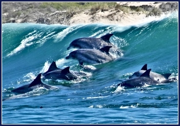 a Pod of Dolphins in the Bay