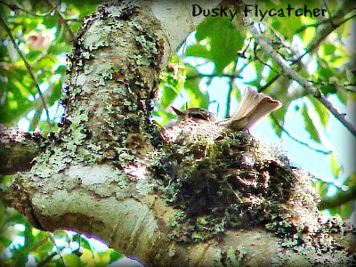 African Dusky flycatcher on its nest