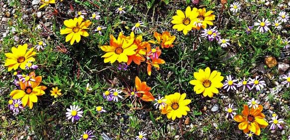 Wildflowers on the roadside to De Rust