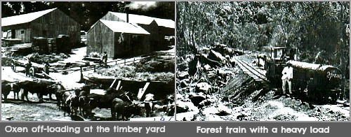 Timber processing in the Knysna forest