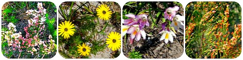 Fynbos flowers seen on walks
