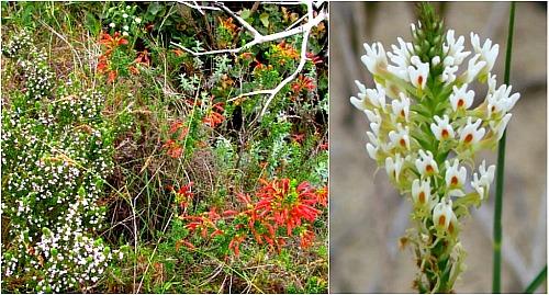 Goukamma fynbos flowers