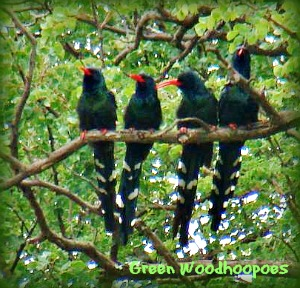 Green Woodhoopoes