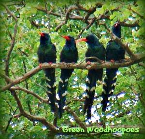 Green Woodhoopoes