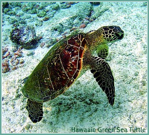 Hawaian Green Sea Turtle