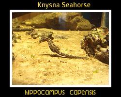 Hippocampus capensi