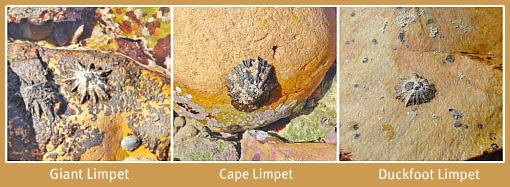 3 Different Limpets