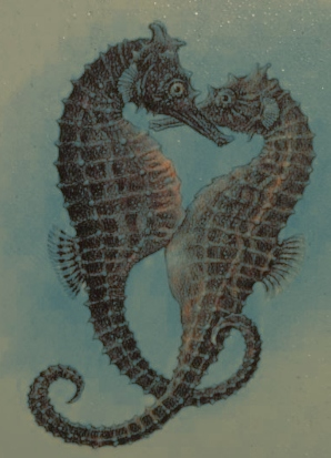 Female Seahorse depositing eggs in the Male's Pouch
