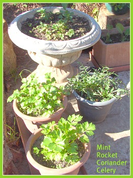 Growing rocket, mint, celery and coriander in pots.