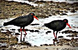 Pair of African Black Oystercatchers