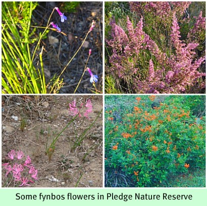 Fynbos in Pledge Nature Reserve
