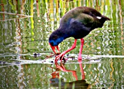 Purple Swamphen (formerly Purple Gallinule)