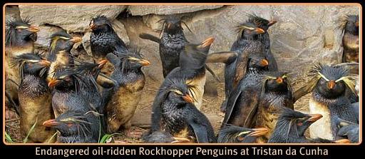 Rockhopper Penquins