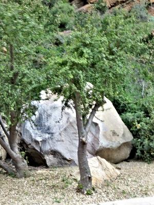 Spekboom Tree in the Carpark