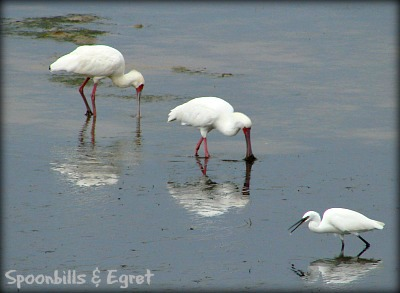 Spoonbills & Little Egret