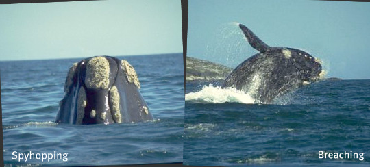 whales spyhopping and breaching