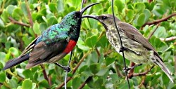 Male Greater Double-collared Sunbird and Female Amethyst Sunbird