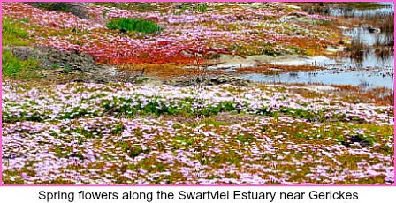 Spring flowers along the Swartvlei lagoon on the road to Gerikes carpark.