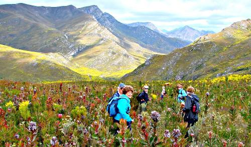 Sedgefield Walkie Talkies in the flowering fynbos on the Doring River Trail