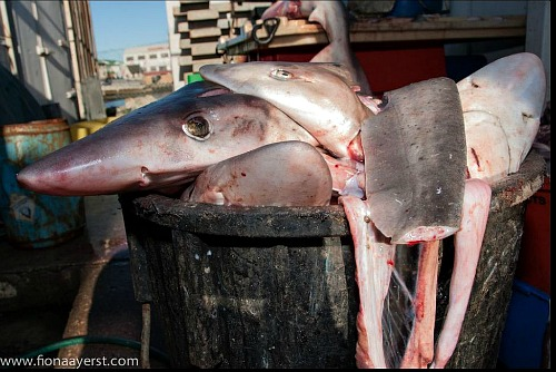 The waste of keystone predators,  sharks slaughtered for their fins.