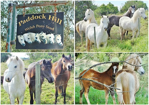 Paddock Hill pony stud
