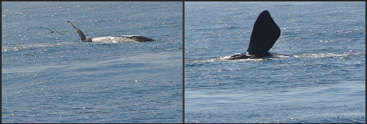 Whale watching at Kaaimans