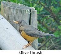 Jaunty Olive Thrush