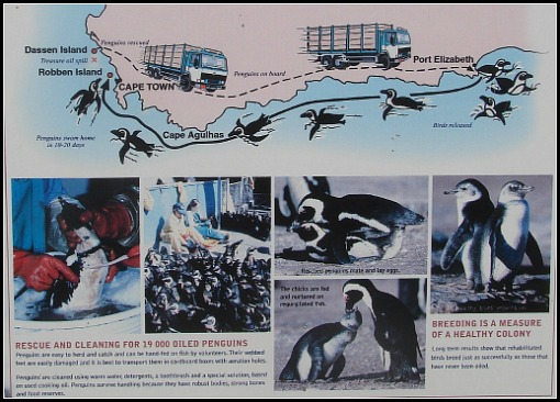 Penguins swim from PE to Cape Town