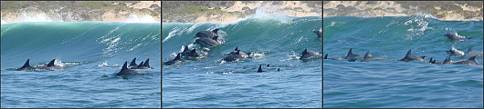 School of dolphins in the surf