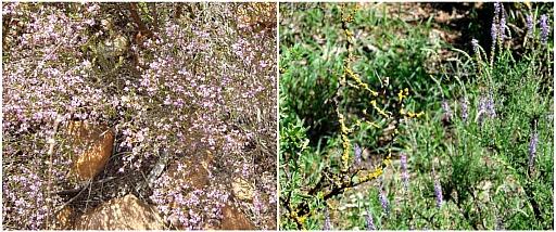 Flowering fynbos